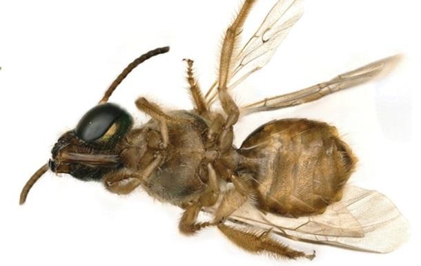 Найдена первая живая пчела-гермафродит